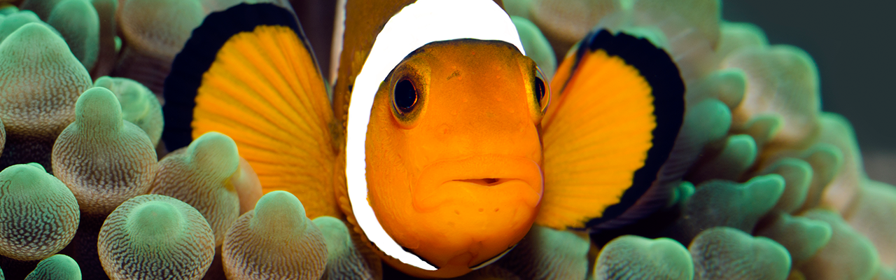 Marine fish | Clown fish