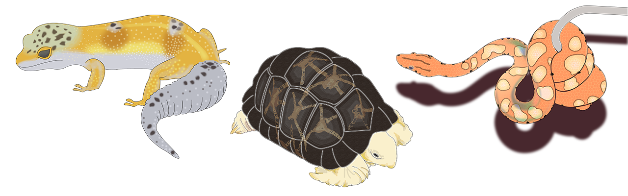 Reptiles | Tortoise, Rainbow Boa and Leopard Gecko