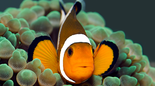 Marine - Clown fish