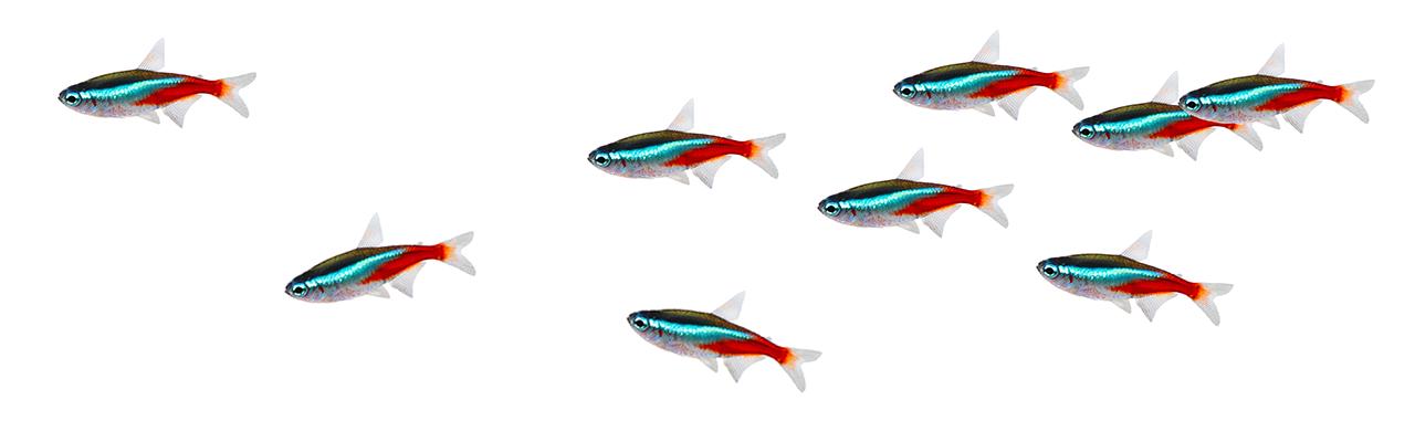 Tropical fish - Tetra