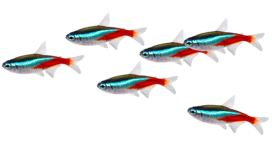 Freshwater Tropical - Neon tetra Fish